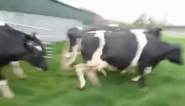 Watch Skipping Cows GIF on Gfycat. Discover more cows, free, happy, running GIFs on Gfycat