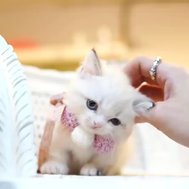 Watch and share Cats GIFs by thehairlessfraud on Gfycat