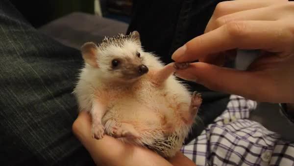 Watch and share Hedgehog Handshake GIFs on Gfycat