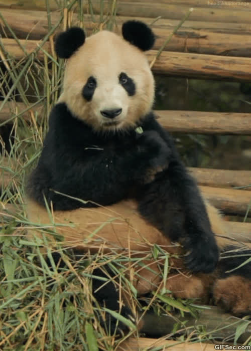 bored, cool story bro, panda, unimpressed, Bored Panda GIFs