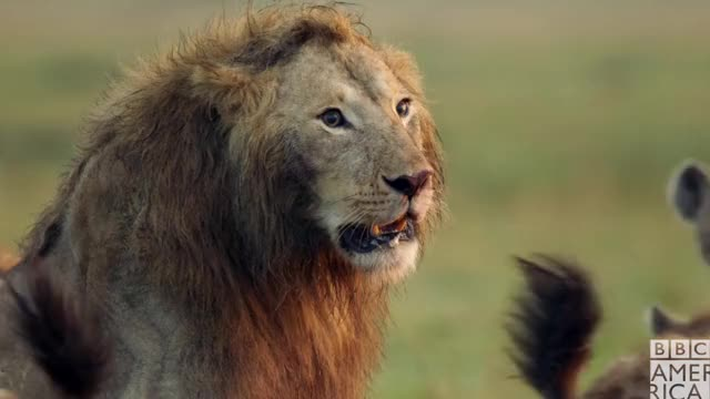 Watch and share Bbc America: Dynasties GIFs and Bbc America Dynasties GIFs by BBC America on Gfycat