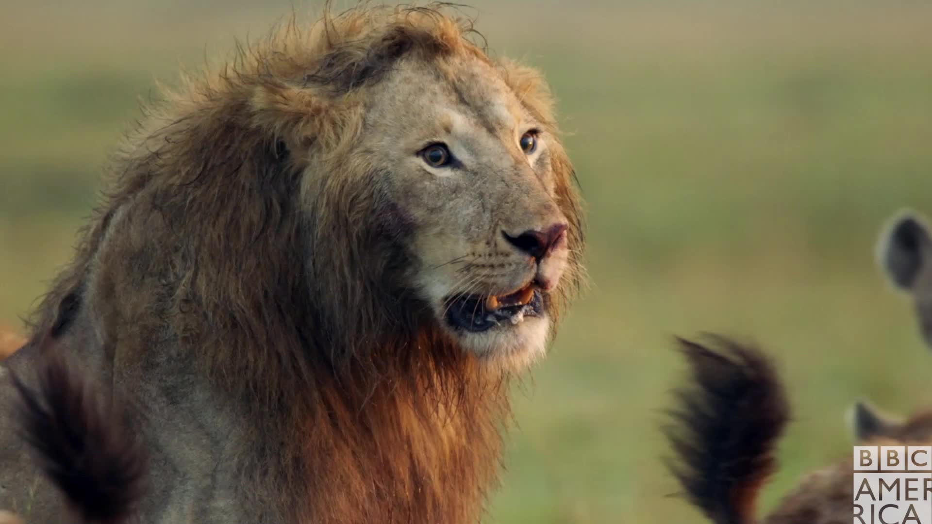 animal, animals, bbc america, bbc america dynasties, bbc america: dynasties, dynasties, lion, lions, oh no, scared, uh oh, worried, Dynasties Lion Scared GIFs