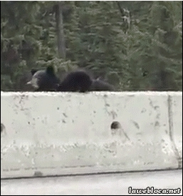 gifs, reverseanimalrescue, reversedrescuegifs, Mama bear places cub in traffic (reddit) GIFs