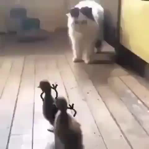 Ducklings chasing after their feline friend GIFs