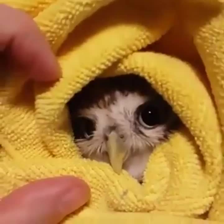 Owl in a towel GIFs