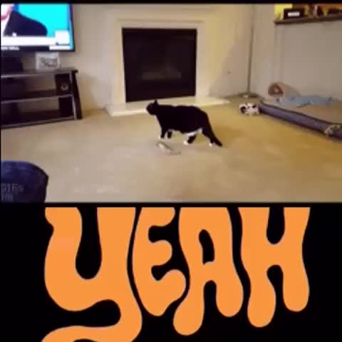 Watch and share #funny #cat #thevideobook  #DonaldTrump GIFs by The videobook on Gfycat