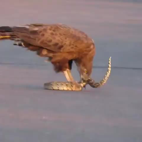 A brown eagle pulling the intestines out of a puff adder GIFs