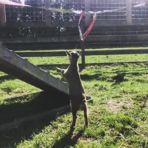 friendsnotfood, rescue, sanctuary, the happy herd farm sanctuary, One determined young lady at The Happy Herd Farm Sanctuary GIFs