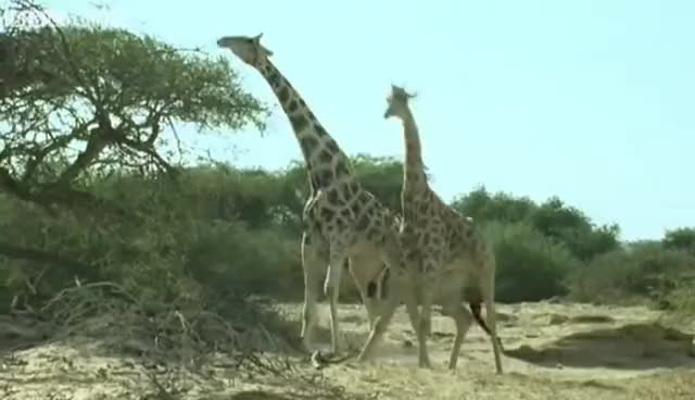 Watch this animal GIF on Gfycat. Discover more animal, animals, giraffe GIFs on Gfycat
