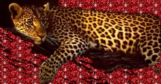 Watch and share Leopard Animal Gifs GIFs on Gfycat