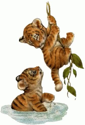 Watch Tigers GIF on Gfycat. Discover more related GIFs on Gfycat