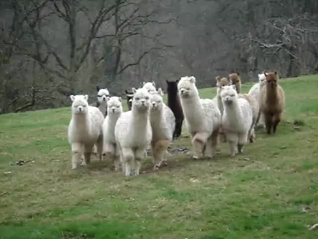 Watch and share Alpacas GIFs and Alpaca GIFs by Christmasgifs on Gfycat