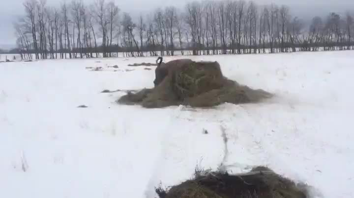 Happy bison playing with their hay bale GIFs