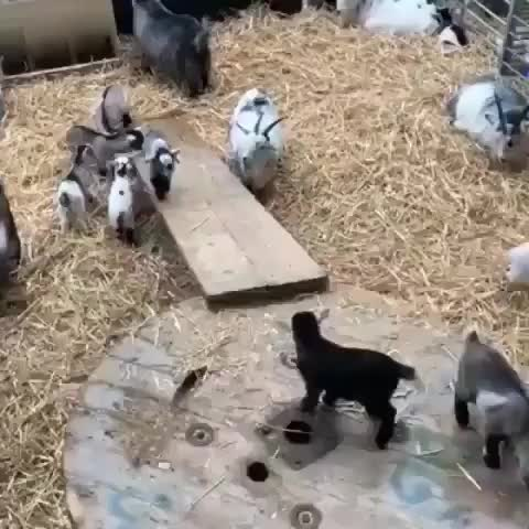Watch and share Game Of Goats GIFs by gumus33 on Gfycat