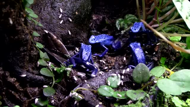 Watch and share Poison Dart Frog GIFs and Azureus GIFs by likkaon on Gfycat