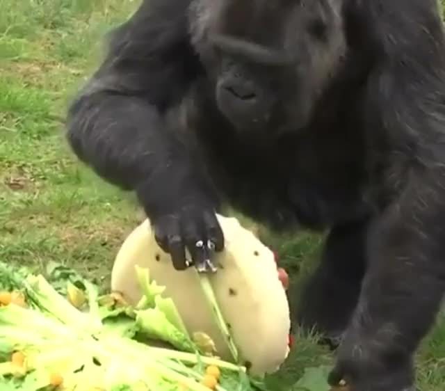 Watch and share Fatou, The Oldest Confirmed Gorilla To Ever Live, Enjoys Her Cake Today On Her 61st Birthday GIFs by gfycats on Gfycat