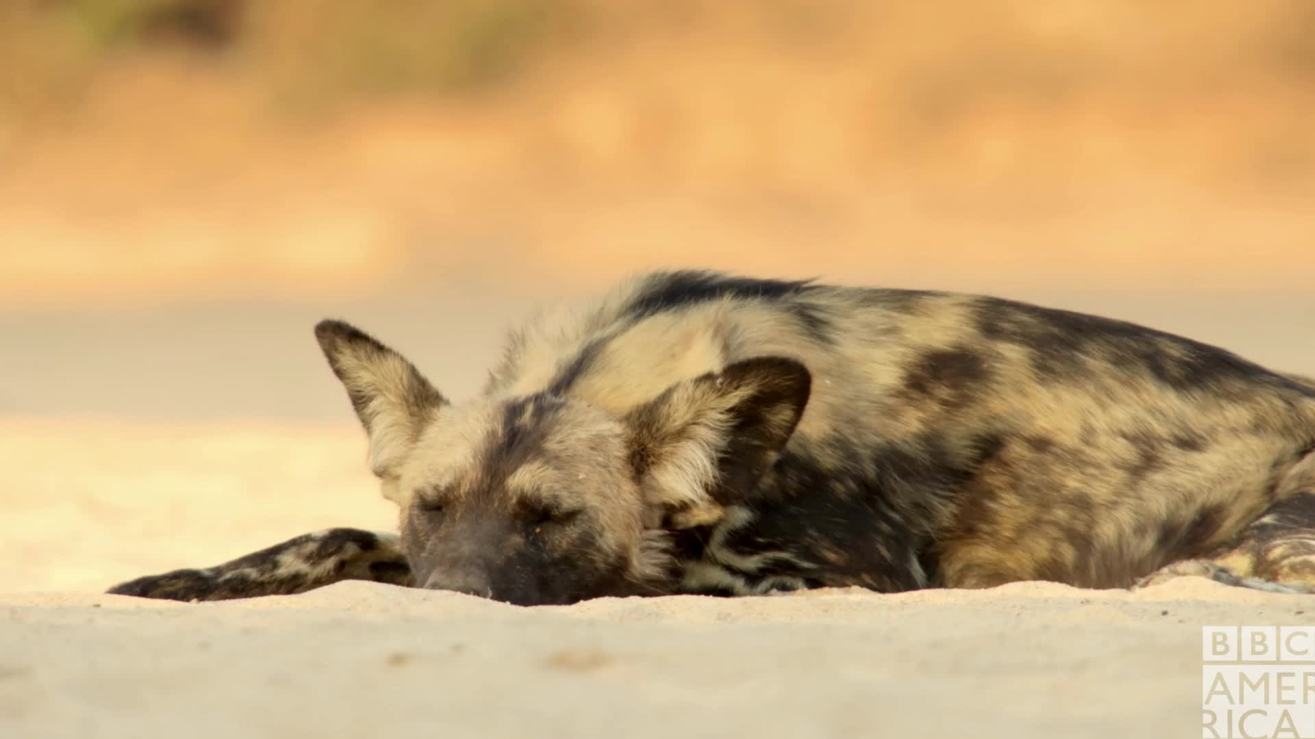 animal, animals, bbc america, bbc america dynasties, bbc america: dynasties, dynasties, lazy, painted wolf, painted wolves, sleeping, tired, wolf, wolves, zzz, Dynasties Sleeping Wolf GIFs