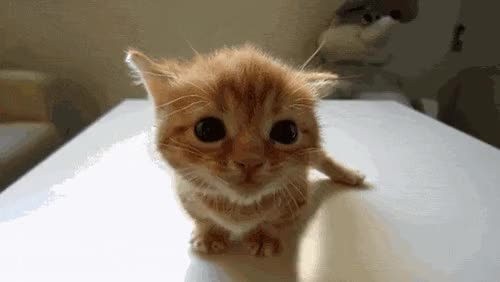 Watch and share Chatons, Chaton Qui Miaule, Animal Drole, Chat Mignon GIFs on Gfycat