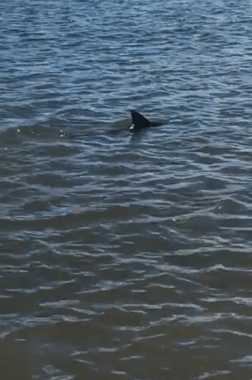 eaf, straya, Australian Catches a Shark Bare-handed (reddit) GIFs