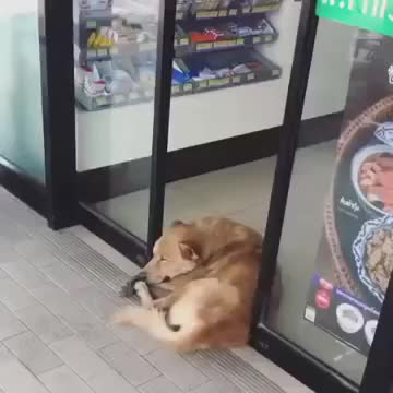 lazy, Lazy dog Doesn't Mind Sliding Door Closing on Him - 1001524 GIFs