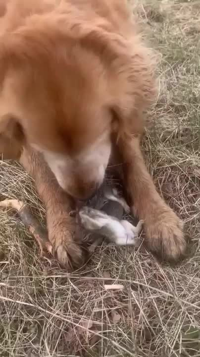 Watch and share This Doggo Saved These Baby Bunnies From A Hawk Attack GIFs by funnyvidspage on Gfycat