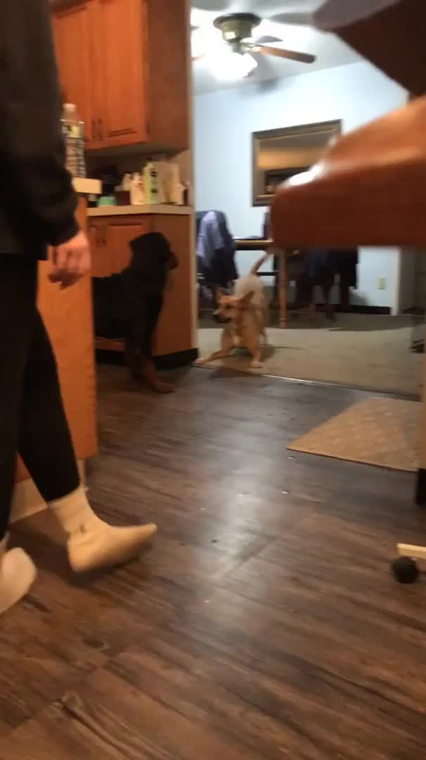 """Watch and share """"Our Dog Is Trying Very Hard To Get Our Newly Adopted Rottweiler To Play."""" GIFs by Mhenvy🐍 on Gfycat"""