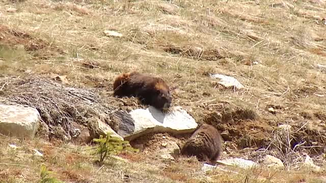 Watch Vancouver Island Marmot - Shaw TV Nanaimo GIF on Gfycat. Discover more community television, nanaimo, shaw tv central island GIFs on Gfycat