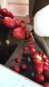 Tomato sorting machine. Only reds allowed GIFs
