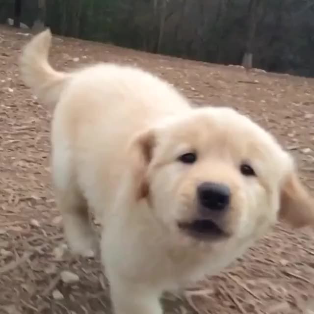Watch and share Maisie, The 7wk Old Golden Retriever Pup! #🐶 GIFs by oo2525 on Gfycat
