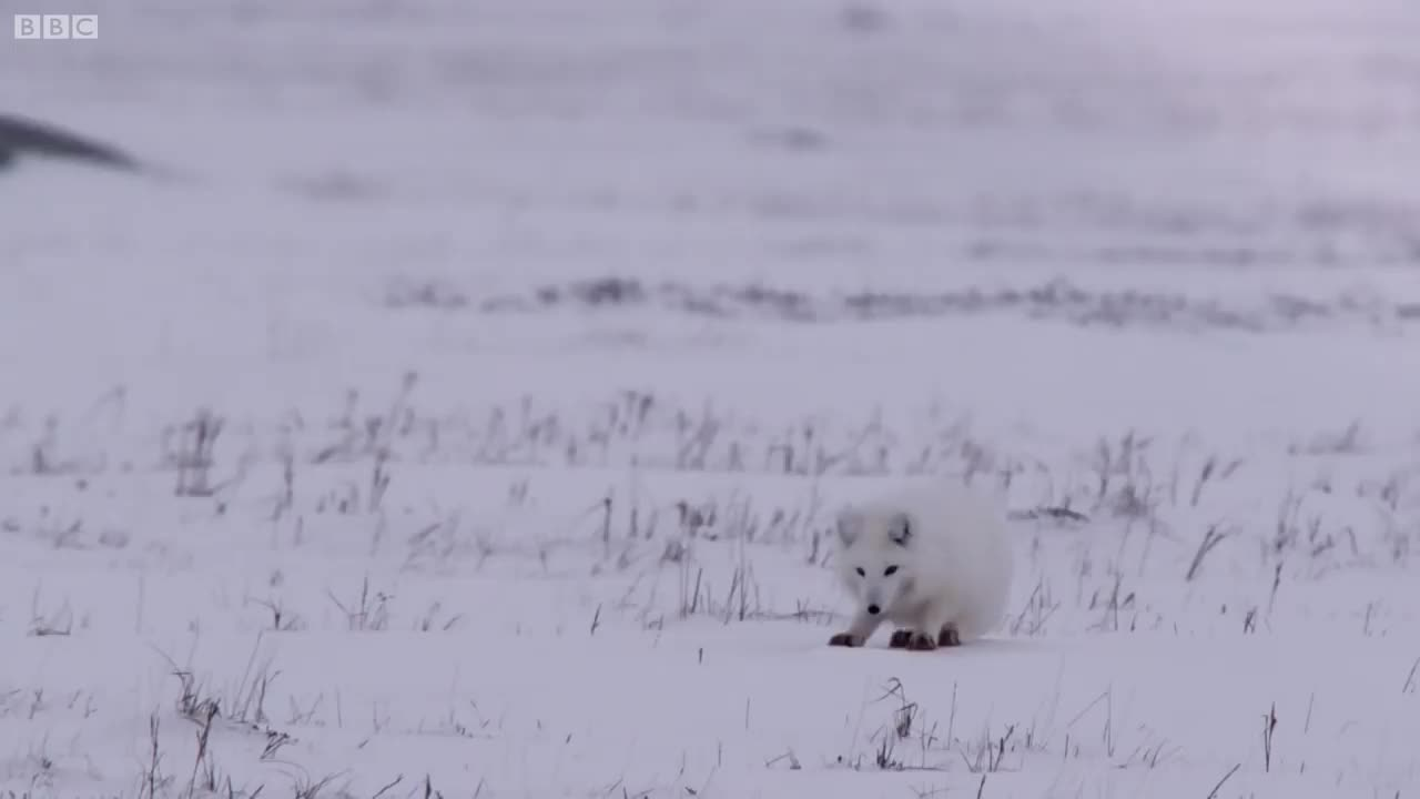 Jump, Storm, bbc, coming, fail, food, foxies, funny, hunt, hunting, little, nature, prey, rodent, snow, snowing, tiny, wild, wildlife, winter, Young Fox Hunting In The Snow | Life Story | BBC GIFs