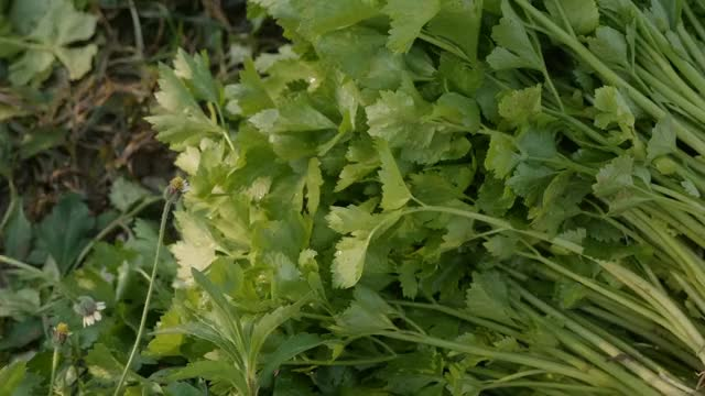 Watch and share Coriander Leaves GIFs by howtocurenaturally on Gfycat