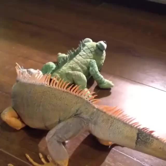 Watch and share Iguana GIFs on Gfycat
