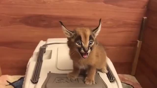 Watch and share Redditsave.com Was Not Aware That Baby Caracals Sounded Like-2cazppuw12r41 GIFs on Gfycat