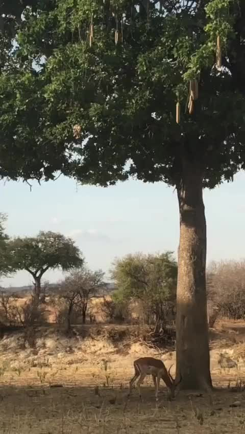 Watch and share The Way This Leopard Catches Its Prey GIFs on Gfycat