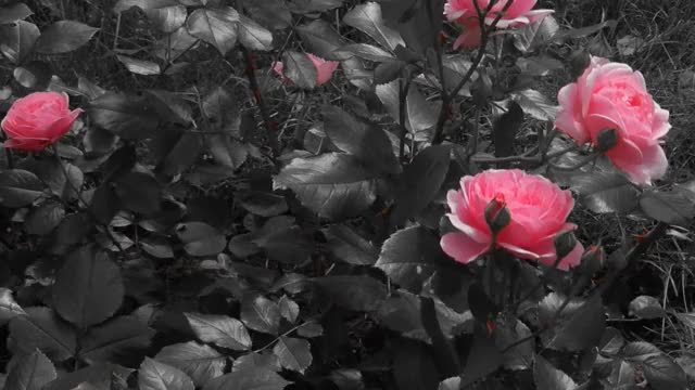 Watch THanks! Roses GIF by Наташа Лаврентьева (@cleopatra) on Gfycat. Discover more mersi, roses, thanks GIFs on Gfycat