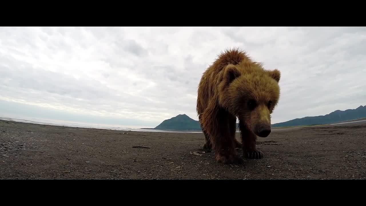 animalsbeingjerks, Grizzly bear slaps gopro (reddit) GIFs