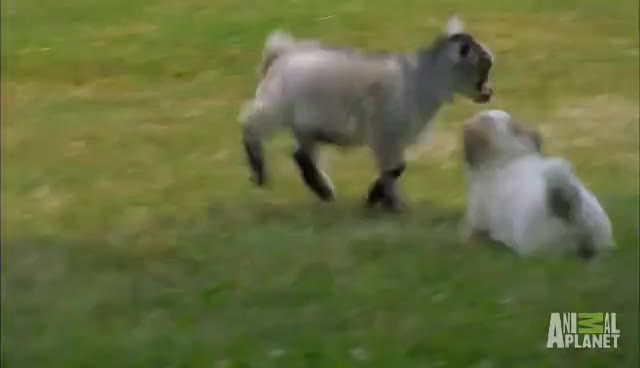 baby goat, puppy, Snowflake GIFs