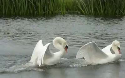 Watch swan GIF on Gfycat. Discover more related GIFs on Gfycat