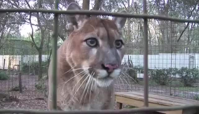 Watch and share Cougar Talking To Cameraman... GIFs on Gfycat