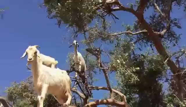 Watch and share Goats Climbing Argan Trees Morocco, Goats Really Can Climb Trees? GIFs on Gfycat