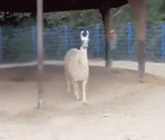 Watch and share Llamas GIFs and Llama GIFs on Gfycat
