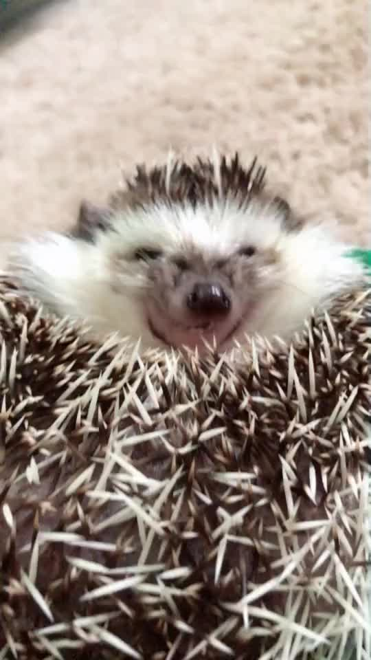 Watch and share Cute Hedgehog GIFs on Gfycat
