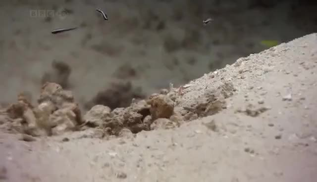 Watch Amazing animals - Convict Fish GIF on Gfycat. Discover more related GIFs on Gfycat