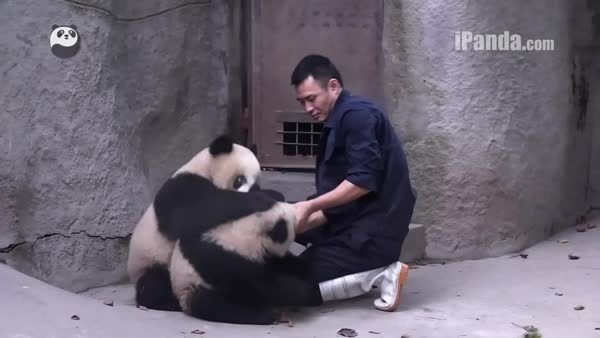 bearcubgifs, Keeper's success! (sequal to panda don't want medicine) (reddit) GIFs