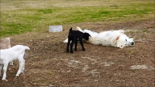 Watch this cute GIF by KNS Farm (@knsfarm) on Gfycat. Discover more aww, cute, eyebleach, funny, goat, kid, knsfarm GIFs on Gfycat
