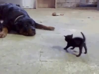 Watch and share Brave Kitten Stands Up To Dog AB GIFs on Gfycat