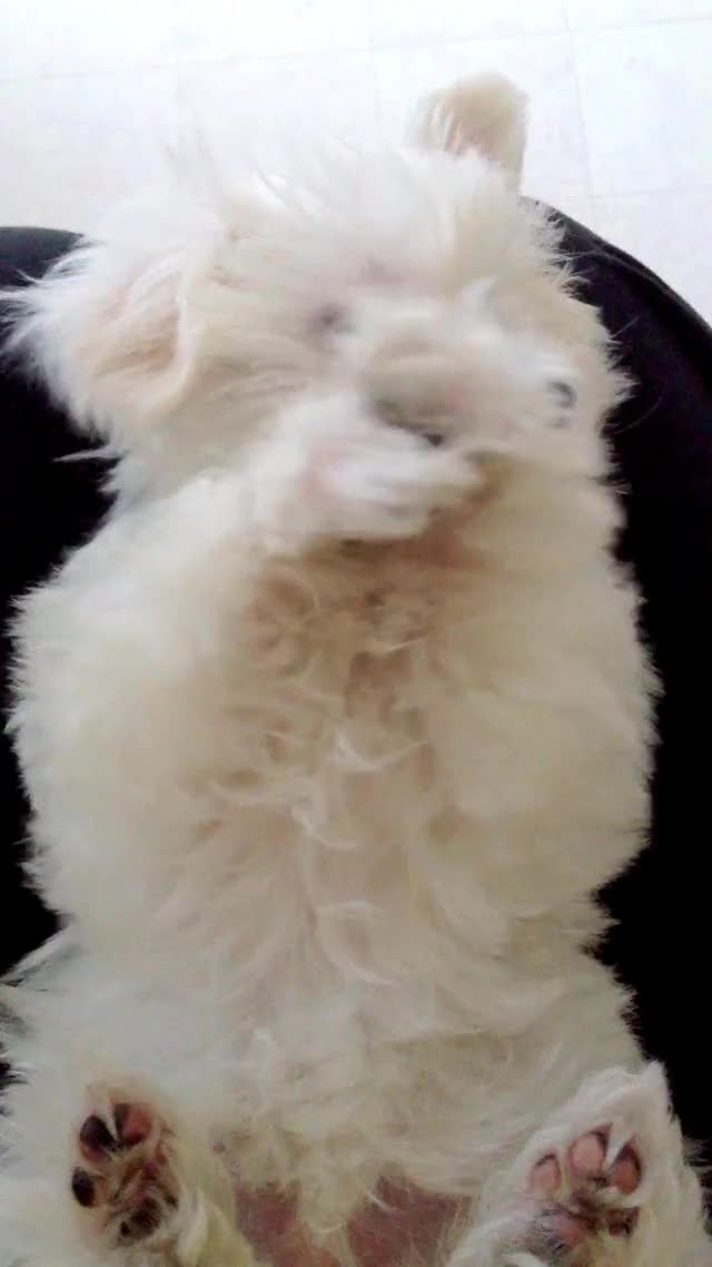 Watch Puppy GIF on Gfycat. Discover more Cuteness (Website Category), Dog, Dogs, Maltese (Animal Breed), Pets, Playing, Puppy (Musical Album), adorable, animals, cute, fluffy, maltese, puppy, white GIFs on Gfycat