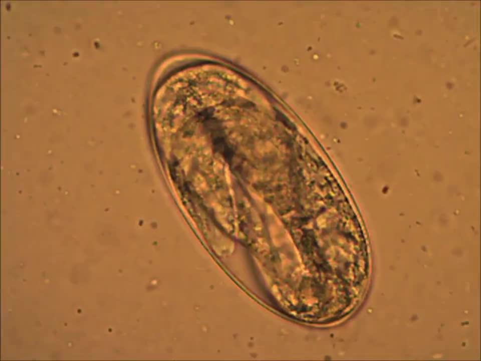 parasitos nematodos