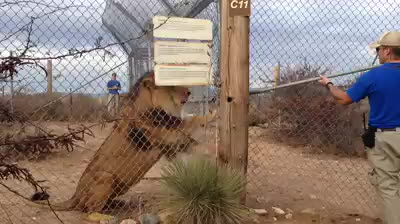 gifs, mildlyinteresting, LION TELLING ZOO KEEPER TO KNOCK IT OFF . GIFs