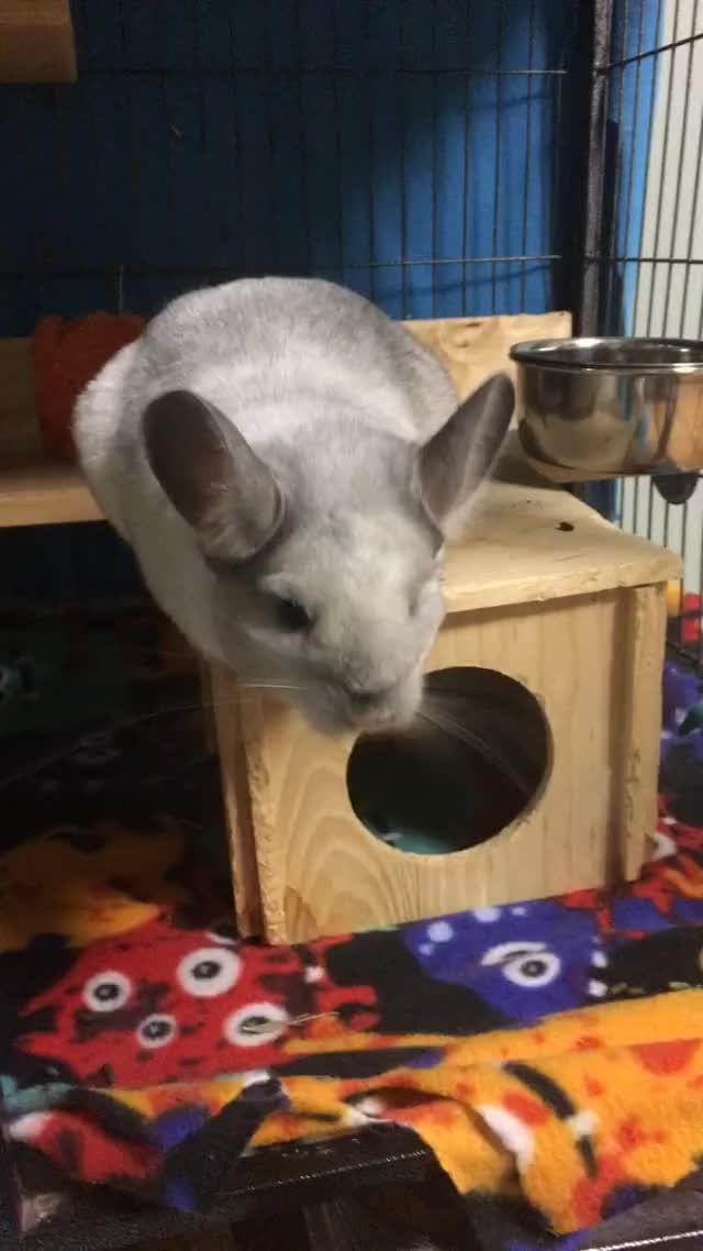 Watch and share Chinchilla GIFs and Pets GIFs on Gfycat